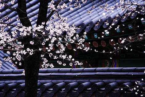 韓國春季賞花著名景點