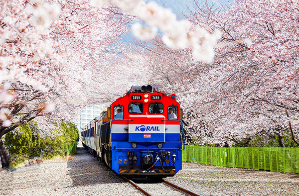 隨著春風踏上櫻花之旅─「鎮海軍港節」