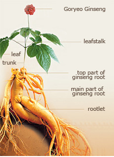 Worldwide the most common types are the asian ginseng panax ginseng