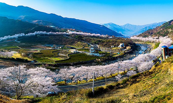 Ssangyesa Temple Simni Cherry Blossom Road (Credit: Hadong-gun)