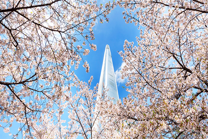 Cherry blossom trees by Lotte World Tower in Jamsil, Seoul