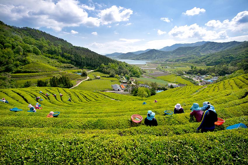 Фестиваль зеленого чая в Посоне