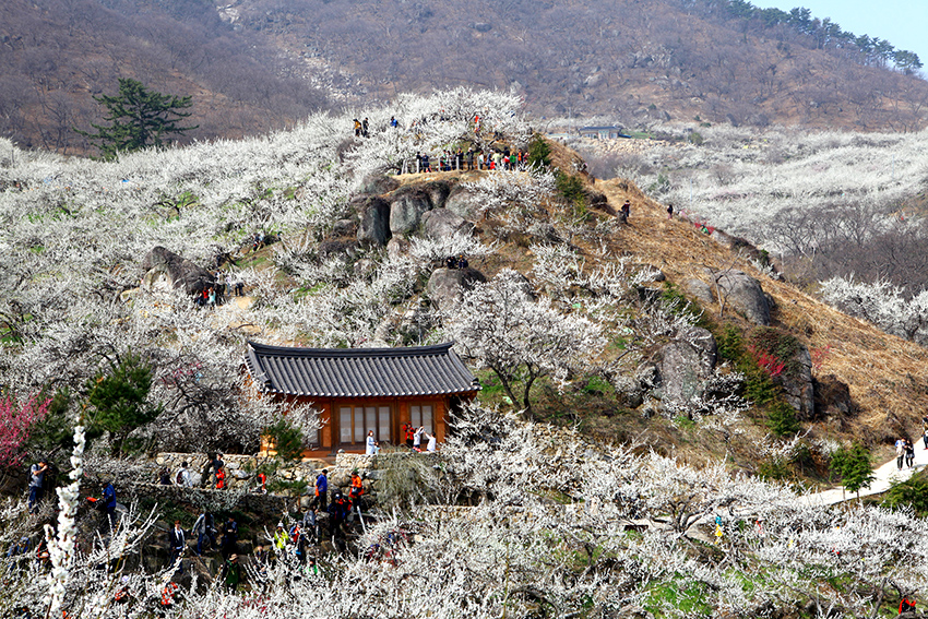 Фестиваль цветения дикой сливы в Кванъяне