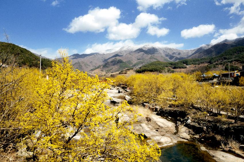 Фестиваль цветения кизила в Куре (Источник: Администрация уезда Куре