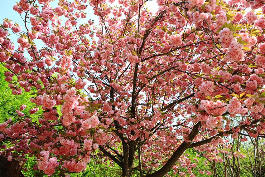 Фестиваль цветения королевской вишни на Чечжудо