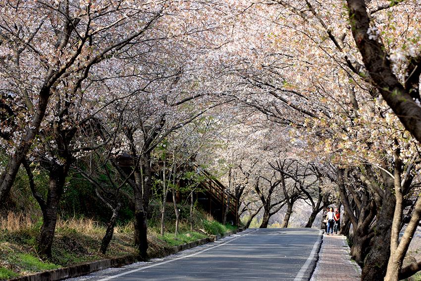 Фестиваль цветения вишни «Хвагэчжантхо»