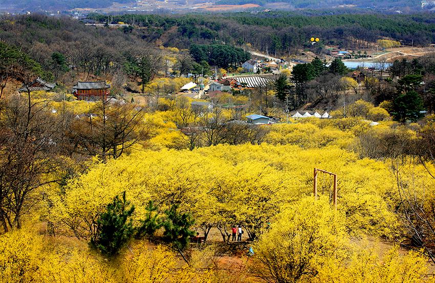 Фестиваль цветения кизила в Ичхоне (Источник: мэрия Ичхона)