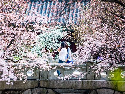 各式不同主題,韓國春季賞花著名景點