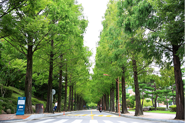 Keimyung College University metasequoia road