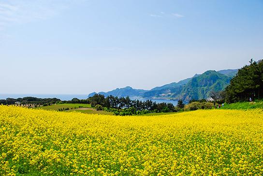 圖片)油菜花盛開的竹島風景