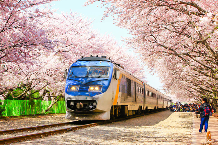 Photo:Beautiful cherry blossom railroad at Gyeonghwa Station during Jinhae Gunhangje Festival