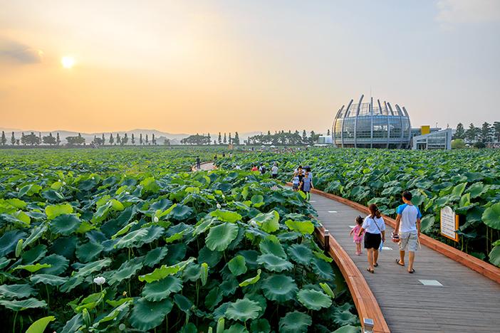 Hoesan White Lotus Habitat (Credit: Muan-gun)