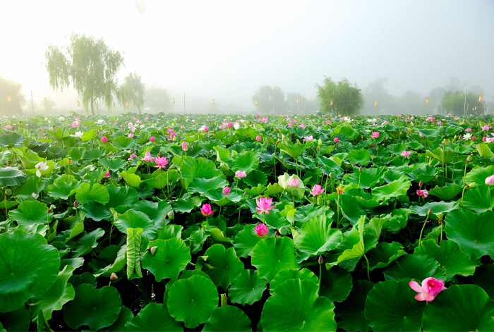 Lotus blossoms at Gungnamji Pond (Credit: Buyeo-gun Office & Buyeo Seodong Lotus Festival Organizing Committee)