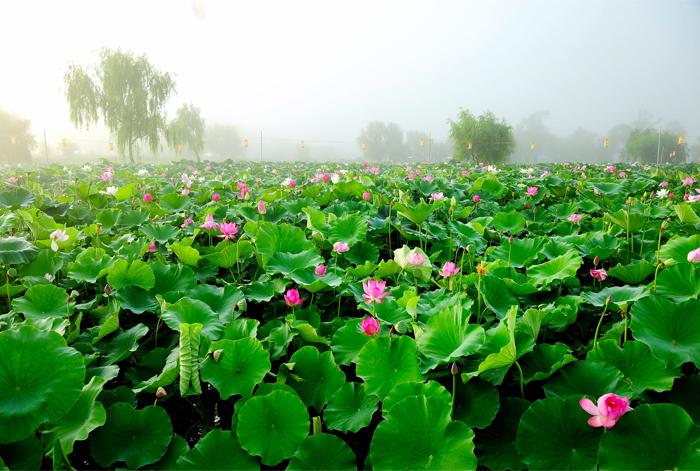 Etang Gungnamji et ses fleurs de lotus (aut : Buyeo-gun / Comité d'organisationdu festival de l'étang Gungnamji)