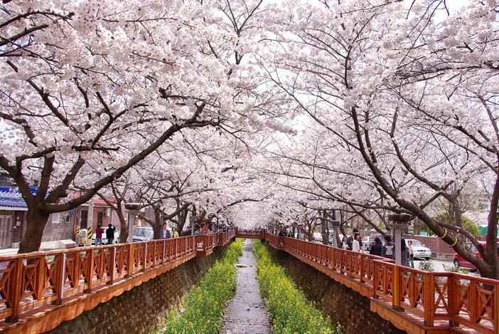 Tiga Festival Bunga Musim Semi di Korea yang Harus Kamu Kunjungi 2018 saungkorea.com