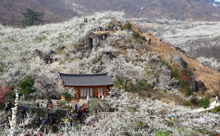 Gwangyang International Maehwa Festival