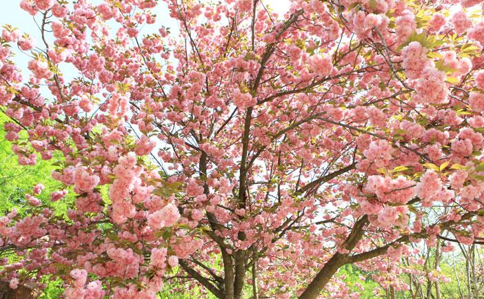 済州桜祭り