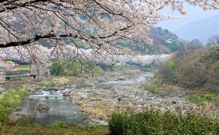 花開市場桜祭り