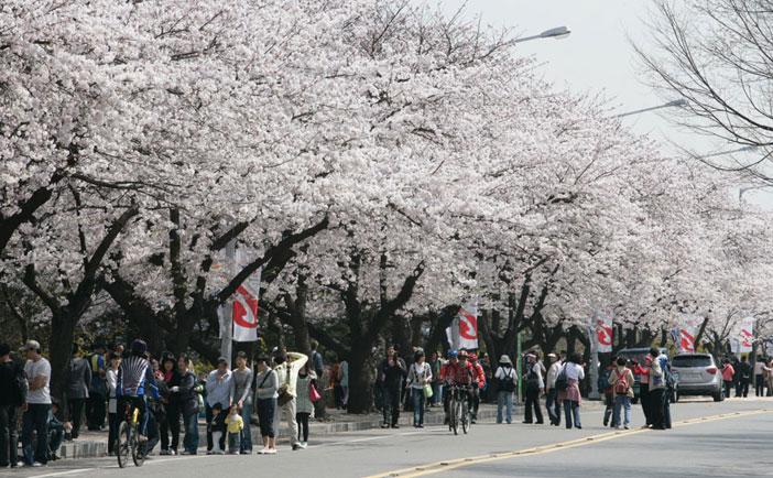 永登浦汝矣島春の花祭り(写真提供:永登浦区庁)