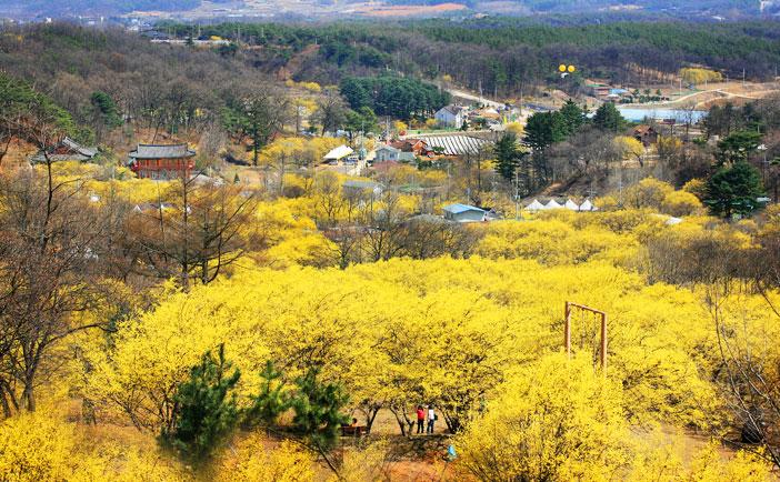 利川栢沙山茱萸花祭り(写真提供:利川市庁)
