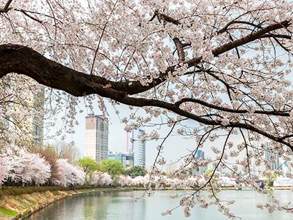 Paseos para contemplar flores de primavera en Seúl