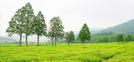 El té verde de Hadong (provincia de Gyeongsangnam-do) y Boseong (provincia de Jeollanam-do)