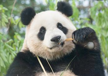 Crédits) Panda World dans le parc d'attractions Everland.