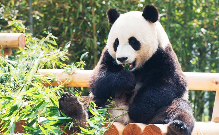 Панда по имени Робао за трапезой (Предоставлено: Samsung Everland)