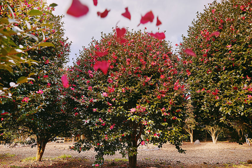 Jeju Camellia Arboretum
