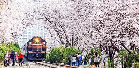Romantic Cherry Blossom Trip to Jinhae Gunhangje Festival