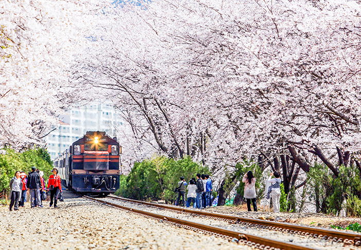 Gyeonghwa Station's cherry blossom road