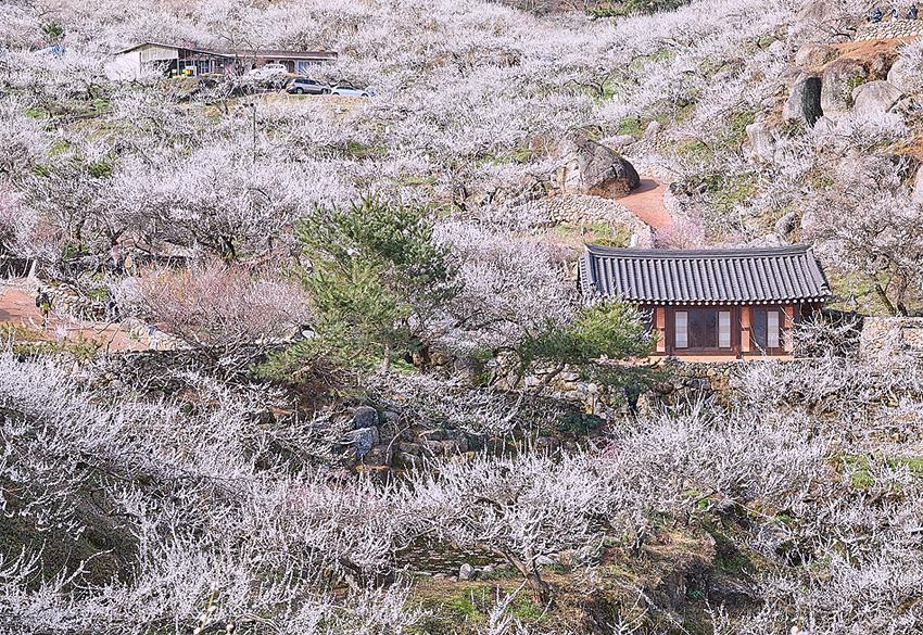 Village des fleurs d'abricotier Gwangyang