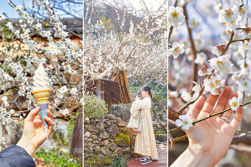 Village des fleurs d'abricotiers Gwangyang (village Jeongbohwa)