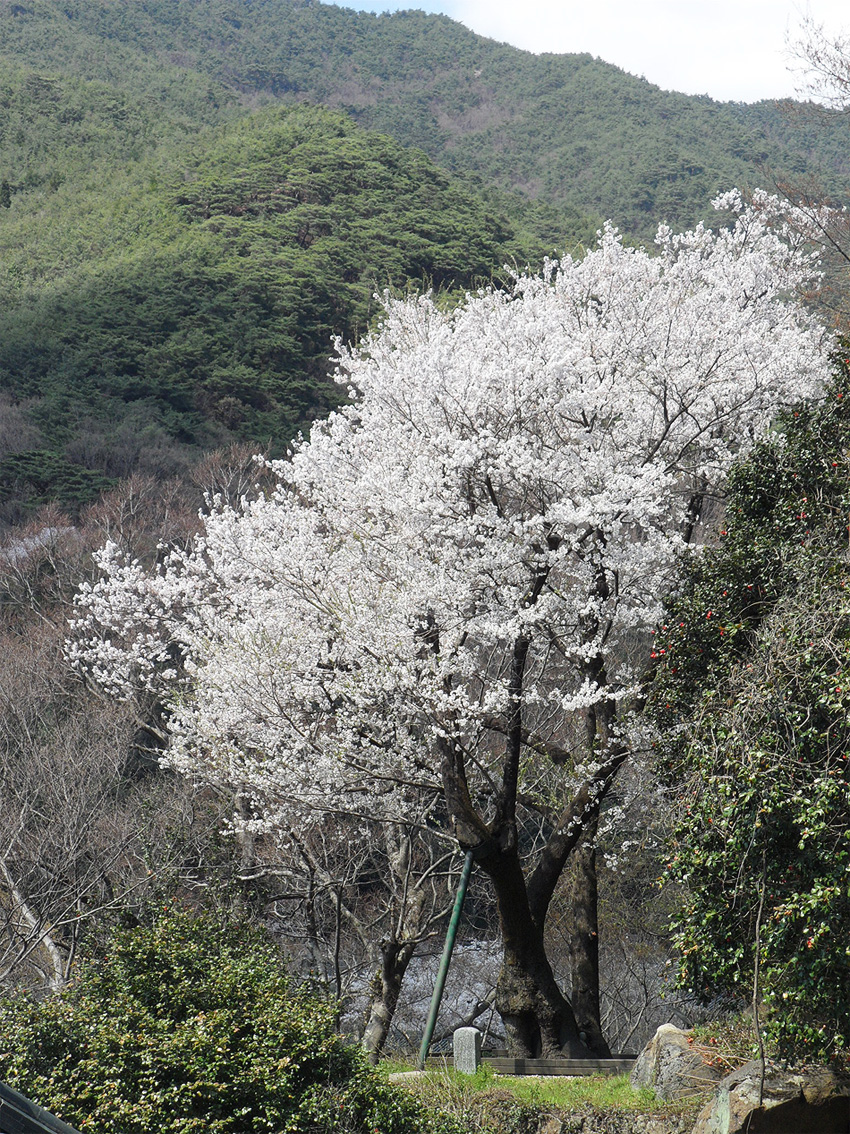 Arbres 'Prunus Pendula' à Hwaeomsa (aut : Hwaeomsa)
