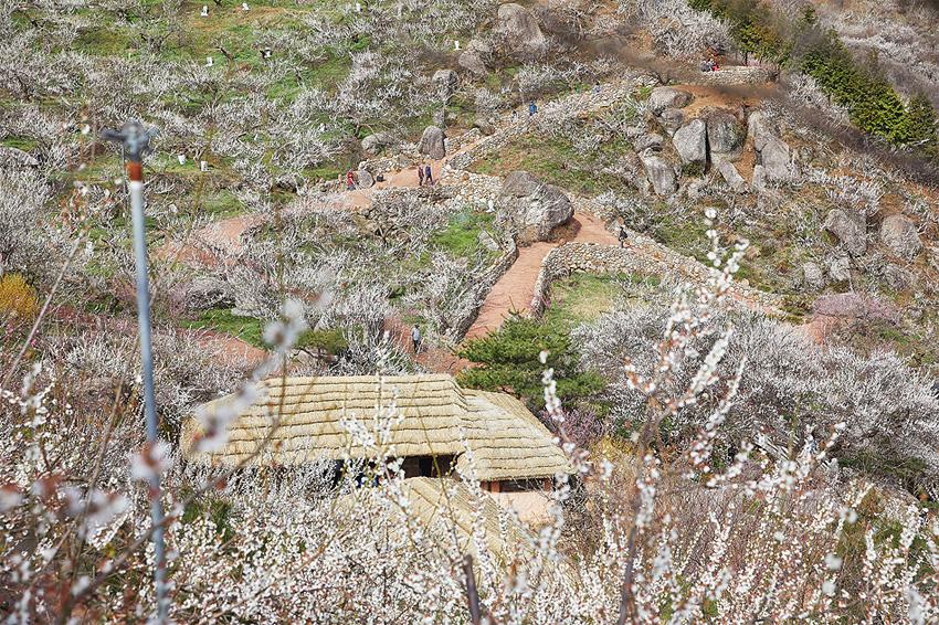 Village Gwangyang des fleurs d'abricotiers (village Jeongbohwa)