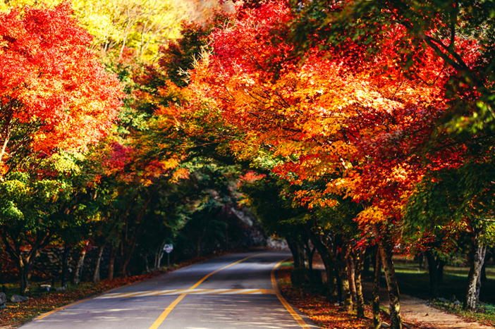 Maple tree tunnel and maple leaves at Naejangsan National Park