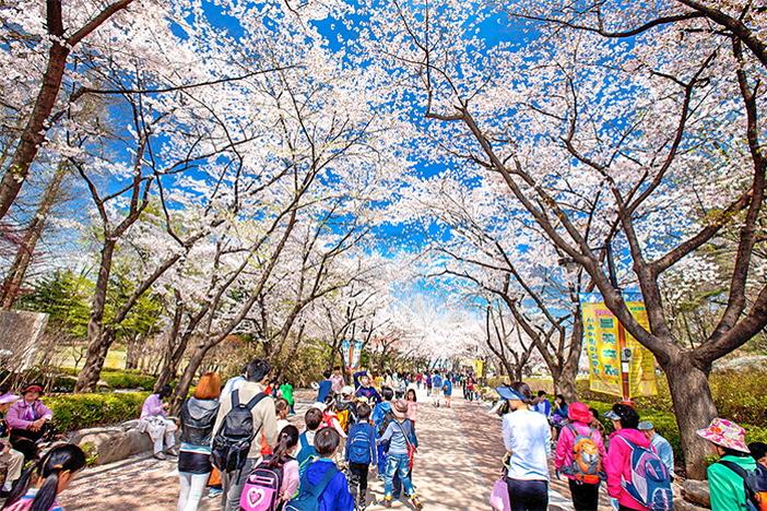 Seoul Spring Blossom Road (Courtesy: Children's Grand Park)