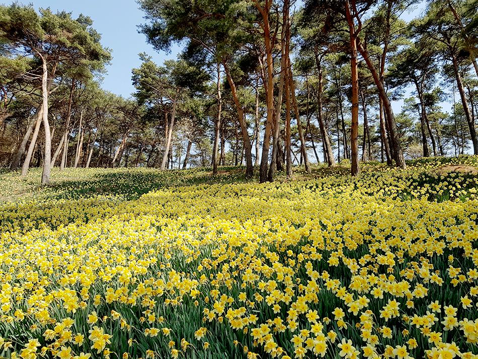 Daffodil field at House of Yi Gi-Bang (Credit: Be Marie Korea)