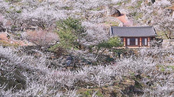 春到来!三色に染まる全羅南道・花紀行
