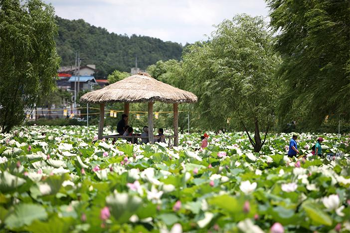 Festival du lotus de Buyeo (aut : Comité d'organisationdu festival de l'étang Gungnamji)