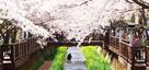 Viaje a Jinhae al son del viento primaveral