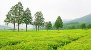 Voyage autour de la culture du thé coréen