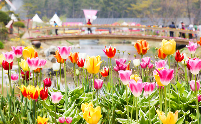 Internationales Tulpenfestival Taean