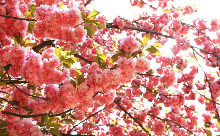 濟州櫻花節