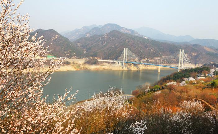 堤川清風湖畔櫻花慶典