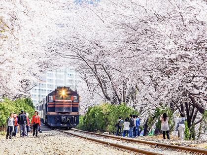Посещение Фестиваля Чинхэ Кунханчже во время цветения вишни в весеннюю пору
