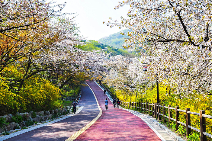 櫻花以及迎春花將南山循環道路妝點得十分迷人