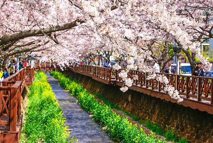 Kirschblütenstraße Yeojwacheon