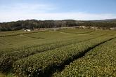 Dosun Tea Plantation