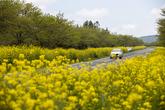 Noksan-ro Mustard Flower Field